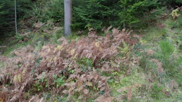 Wilted bracken in Scottish pine woodland displaying autumn colour