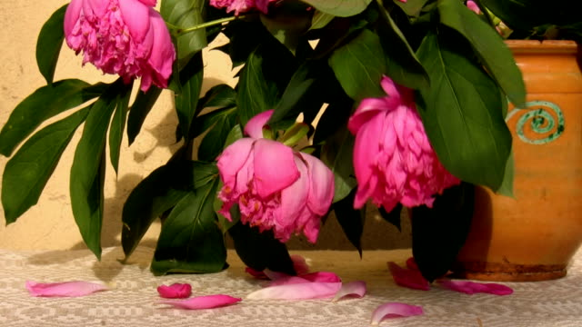 Wilting peonies in a jar Wilting peony flowers in a handmade decorated jar swinging in a breeze with petals falling on a woven tablecloth flower pot stock videos & royalty-free footage