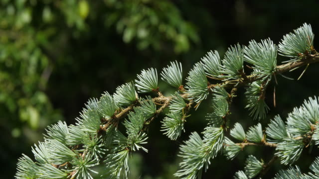 wind and cedar of lebanon, cedrus sp., normandy in france, slow motion 4k - jodła filmów i materiałów b-roll