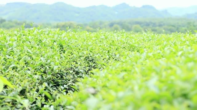 sabah çay plantasyonunda rüzgar. - start stok videoları ve detay görüntü çekimi