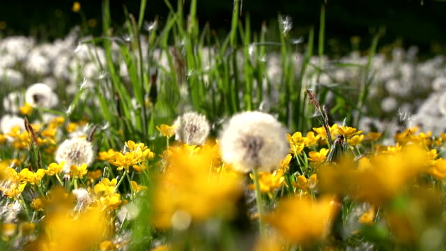 HD SUPER SLOW MO: Wind Blowing Dandelion Seeds HD1080p: SUPER SLOW MOTION DOLLY shot of the wind blowing dandelion seeds away in the meadow full of wildflowers. dandelion stock videos & royalty-free footage