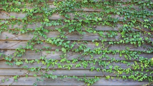 바람 불고 나뭇잎 수직 벽 - 아이비 스톡 비디오 및 b-롤 화면
