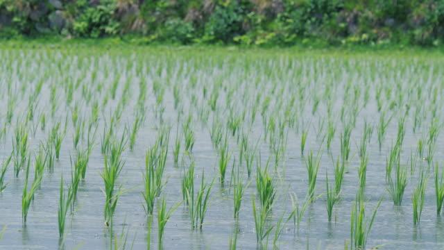 長野県の小さな稲の上に吹く風。 - 水田点の映像素材/bロール