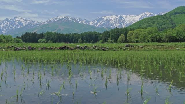 長野県の小さな稲の上に吹く風。 - 稲点の映像素材/bロール