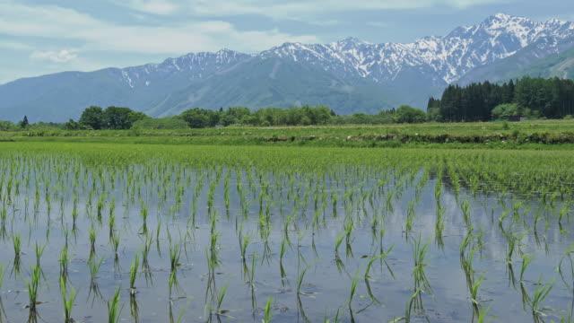 wind weht auf der kleinen reispflanze in nagano, japan. - reis getreide stock-videos und b-roll-filmmaterial