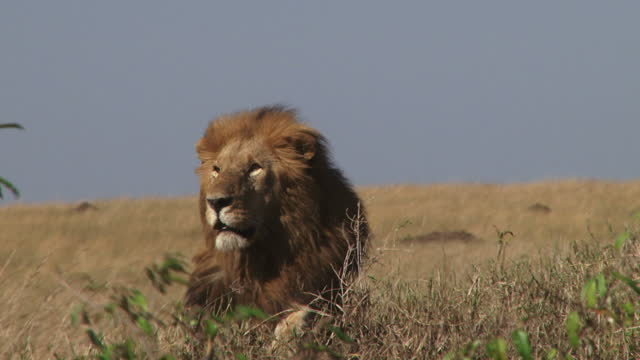 Wind blowing the manes of a lion sitting on an anthill