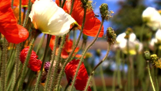 바람 취입 산 poppies - 초점 이동 스톡 비디오 및 b-롤 화면
