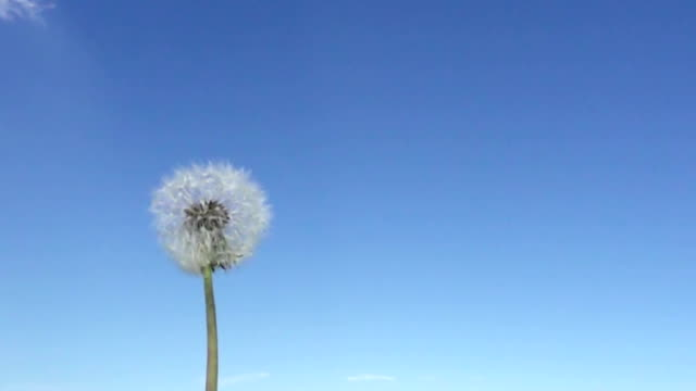 Wind blows off fuzzes with seeds from a white dandelion against the background of the blue sky,Slow motion Wind blows off fuzzes with seeds from a white dandelion against the background of the blue sky,Slow motion dandelion stock videos & royalty-free footage