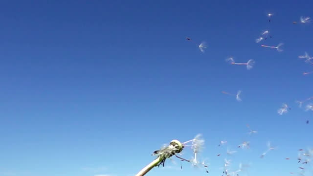 Wind blows off fuzzes with seeds from a white dandelion against the background of the blue sky,Slow motion