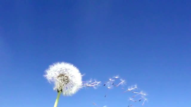 Wind blows off fuzzes with seeds from a white dandelion against the background of the blue sky,Slow motion Wind blows off fuzzes with seeds from a white dandelion against the background of the blue sky,Slow motion, dandelion stock videos & royalty-free footage