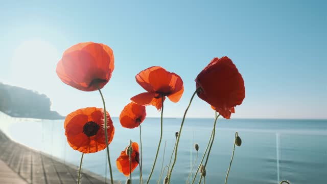 Wind blows red flowers of poppies on the seashore against the blue sky and blue water in summer. Petals of poppies by the sea