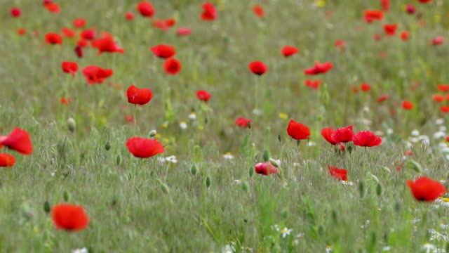 Wind in a beautiful colorful red poppy flowers,  light breeze, motion video video