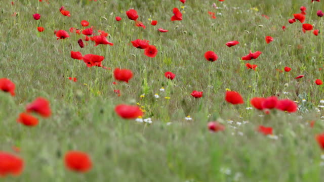 Wind in a beautiful colorful red poppy flowers on the meadow video