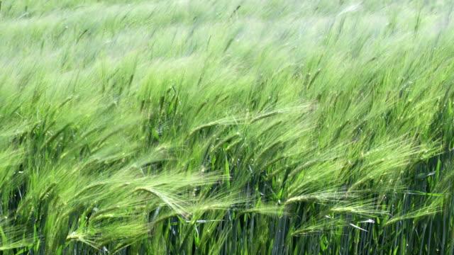 Wind in Grass – Slow Motion