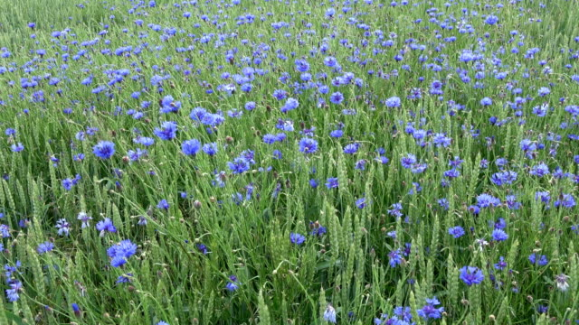Wind in summer green field with wheat and cornflowers video