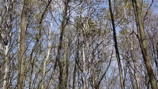 stockvideo's en b-roll-footage met wind in het forest. bekijk over boomtoppen van de bomen in het voorjaar uit de grond - plantdeel