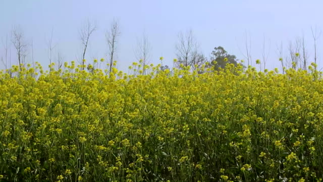 Wind moves the delicate mustard flowers video