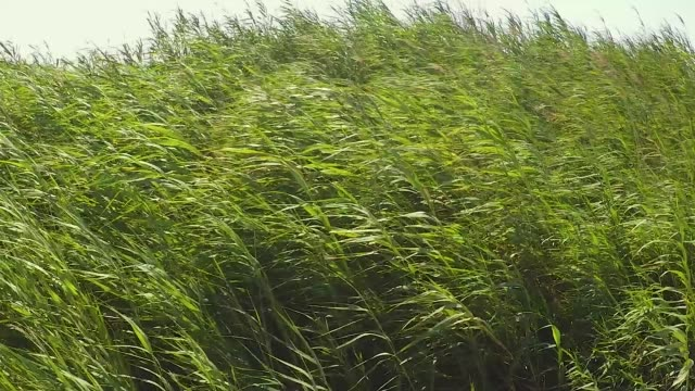 wind moving bamboo plats rushes - video