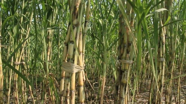 wind on the sugarcane fields - canna da zucchero video stock e b–roll