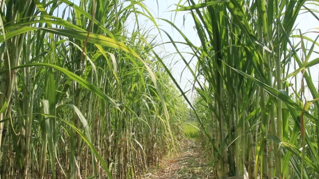 Wind on the sugarcane fields Wind on the sugarcane fields sugar cane stock videos & royalty-free footage