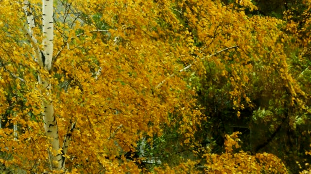 WInd picks yellow autumn leaves from the birch video