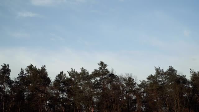 wind. pinien schwingen vor dem wind - verbogen stock-videos und b-roll-filmmaterial