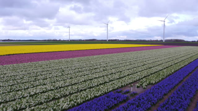 wind power and tulips field in Holland aerial view of wind power and tulips field in Holland tulip stock videos & royalty-free footage