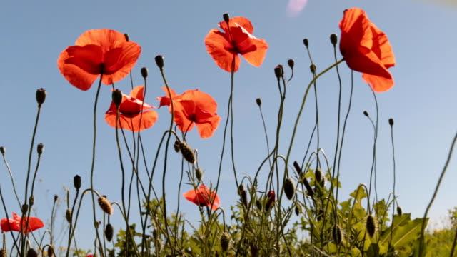 Le vent secoue les fleurs de pavot contre le ciel bleu et le soleil. - Vidéo