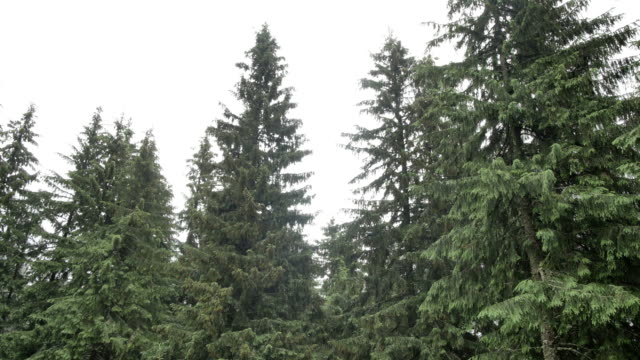 wind shakes the branches high spruces in rainy day - вечнозелёное дерево стоковые видео и кадры b-roll