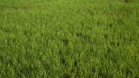 wind schüttelt die reispflanze, um sich in welle zu bewegen - gras stock-videos und b-roll-filmmaterial