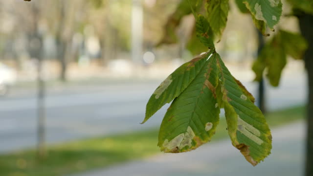 Wind slowly flattering a polluted chestnut tree leaf on autumn sunny day near a public road video