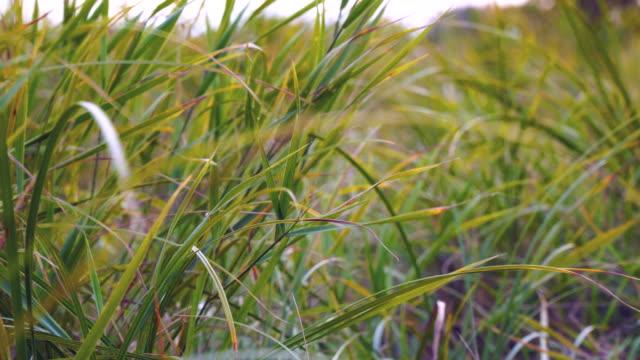 Wind swaying autumn grass video