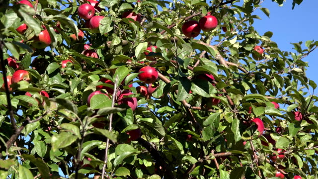 Windfall apples lie on ground and tree branches ripe red fruits. Tilt down. FullHD video