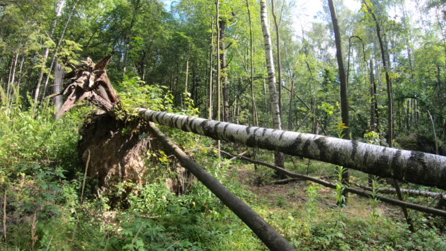 Windfall in the forest, fallen birch trees hurricane