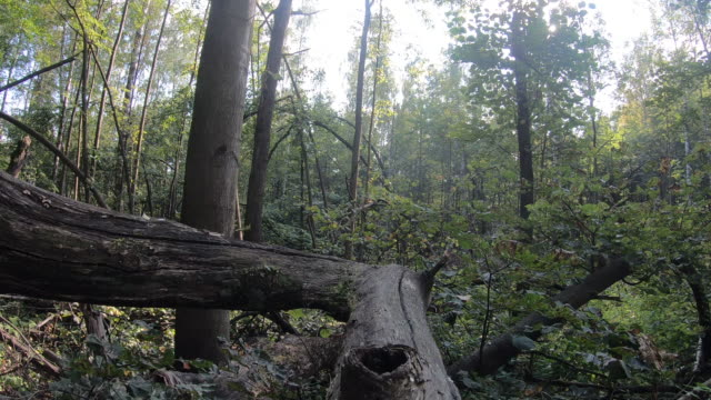 Windfall in the forest, fallen trees hurricane