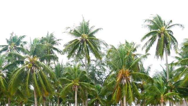 Windy against the palm tree on the beach, Bang saen beach, Thailand video