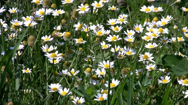 Windy chamomile field video