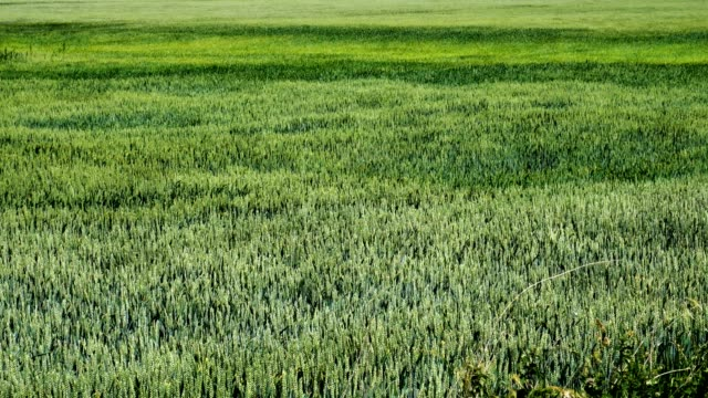 Windy green field Close view of the green field in windy weather in summer grass area stock videos & royalty-free footage