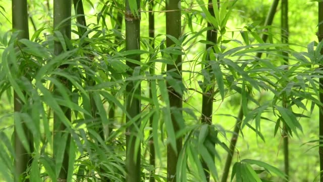 Windy impact to bamboo leaves to make filling fresh air in sunny day. The green of bamboo forest is meaning of the natural is long lasting. video