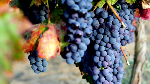 Wine grapes video
