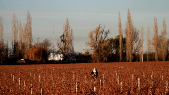 Wine plantation video