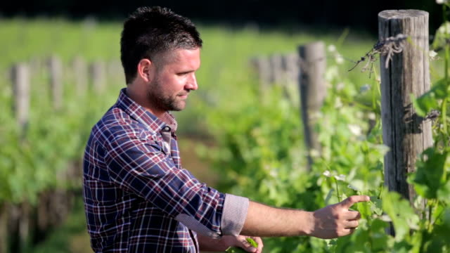 Winegrower checking grape and leafes video