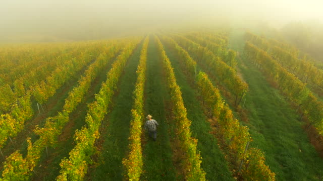 AERIAL Winegrower Checking The Grape video
