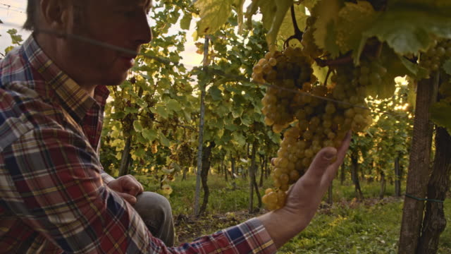 Winegrower examining the grape in vineyard video