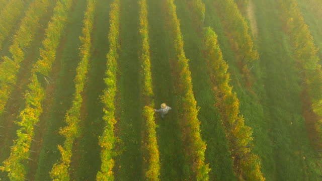 AERIAL Winegrower Walking In The Vineyard video