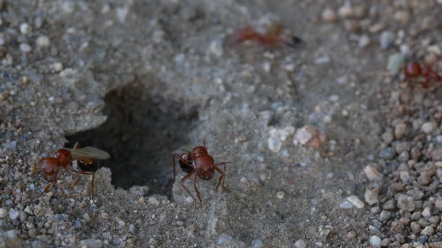 winged queen ants video