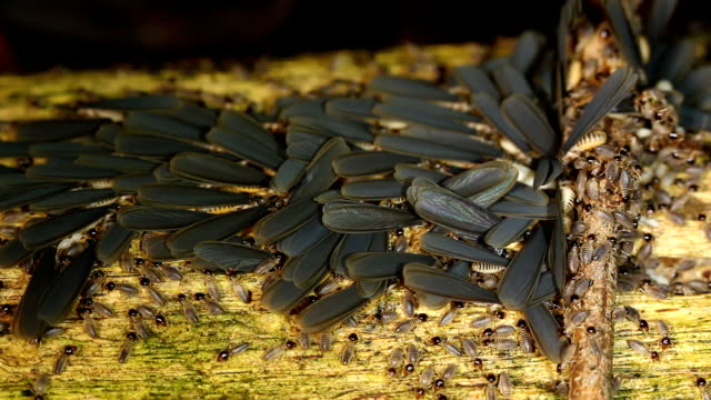 Winged termites emerging from nest video