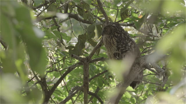 Wink Buffy Fish Owl mother bird near her nest