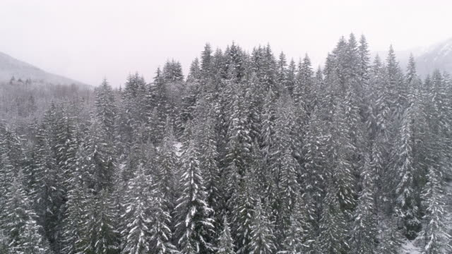 Winter Aerial of Thick Forest Trees Frozen Cold with Hazy Snowfall on Cloudy Day video