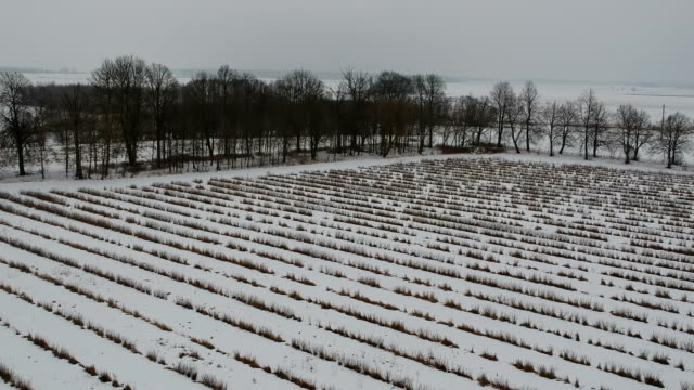 Winter agriculture  fields with currant bushes lines, aerial view video